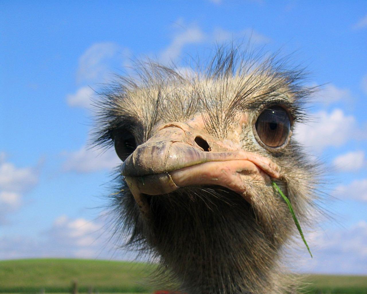 ostrich 17